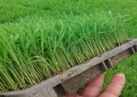 آغاز توزیع بذر گواهیشده برنج در آستانهاشرفیه به قیمت هر کیلو ۱۷۰۰ تومان