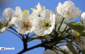 استقبال آخرین ماهِ زمستان از بهار در دیار سلطان
