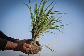 نیاز ۲۰هزار تنی استانهای شمالی به بذر برنج گواهیشده/ بذر الیت و سوپر الیت دارای خلوص ۹۸ درصدی است