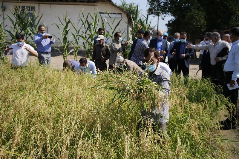 آغاز برداشت مکانیزاسیون برنج در قطب تولید برنج کشور